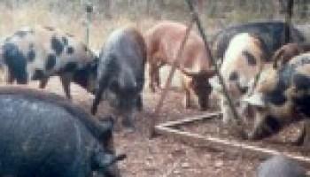 Feral hog workshop set for May 23 in Seguin