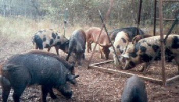 Feral Hog Community of Practice program set for Dec. 10 in San Antonio