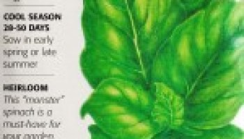 'Monster' variety may help take scare out of home spinach production
