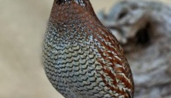Quail Decline research awards announced