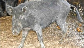AgriLife Extension's Hamilton County Feral Hog Workshop set for Jan. 18