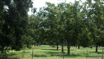 'Immersion class' for Texas pecan enthusiasts set for Jan. 27-31