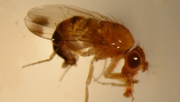 Spotted winged drosophila poses risk to soft-bodied fruits