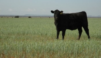 AgriLife Extension sets wheat/stocker cattle program for Oct. 14 in Cross Plains