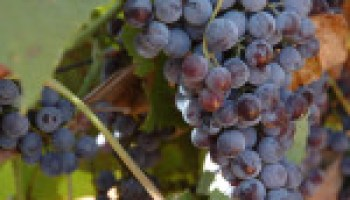Advanced Grape Grower Workshop slated for June 19-20 in Fredericksburg