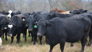 Beef Cattle Management program Sept. 17 in Austin