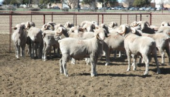 Texas, New Mexico collaborate on June 23 sheep and goat symposium