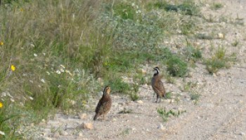 Statewide Quail Symposium set for Sept. 16-18 in Abilene