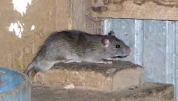 Rodent exclusion training set for July 30 in Dallas