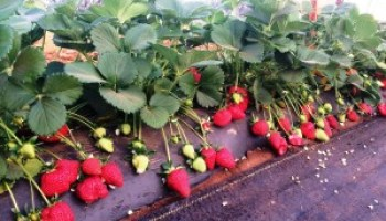Strawberry Growers Meeting will address needs, future of industry