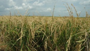 Scientists to gather for multi-state Rice Technical Working Group meeting in Galveston