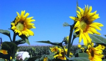 Sunflower production program set for Jan. 26 in Texline