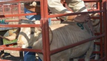 Annual Ram Performance Test Field Day and Sale set for March 18 in San Angelo