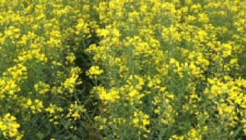 Bushland Canola Field Tour set for May 3