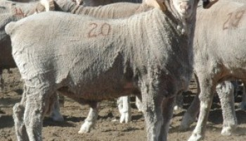Production and Financial Benchmarking Workshops for sheep producers set