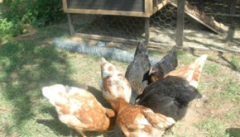 Poultry program set for May 31 in Tarrant County