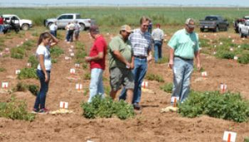 New potato variety to be featured at field day July 21 near Springlake