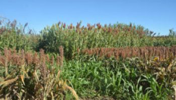 Forage, grain sorghum hybrids to be featured at Sept. 13 field day near Bushland