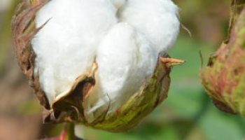 Farm bill cotton decision workshop July 18 in Uvalde