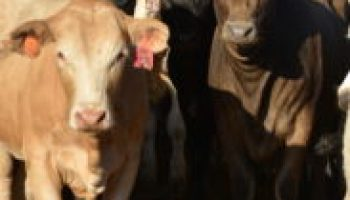 Beef cattle production seminar June 28 at Weslaco