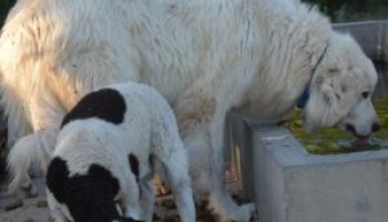 AgriLife livestock guardian dog study numbers are in