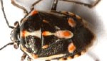 Invasive Bagrada bug may cause 'stink' in South Central Texas