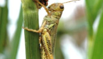 Grasshoppers, thrips threaten Panhandle crops
