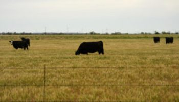 Stocker cattle, wheat conference set for Aug. 1 in Lawton
