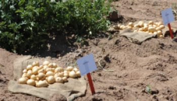 New potato varieties to be highlighted at July 13 field day near Springlake