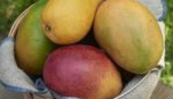 Texas A&M AgriLife study: Mango provides additional relief from chronic constipation