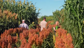 Forage sorghum silage tour set for Sept. 13 near Bushland
