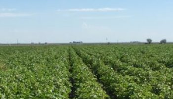 Runnels County Cotton Field Day set Sept. 27