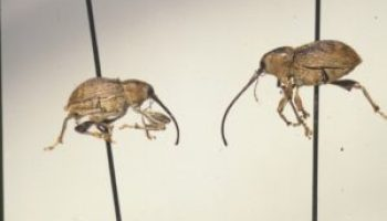 Pecan weevils' range growing warns AgriLife Extension expert