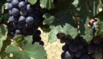 AgriLife Extension sets Prospective Grape Grower Workshop Dec. 12 at Lubbock