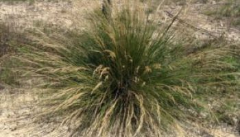 Publications now available on two Edwards Plateau, Concho Valley grass invaders from Mexico