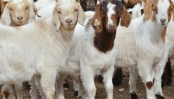 Producer input needed for possible sore mouth pilot project in goats