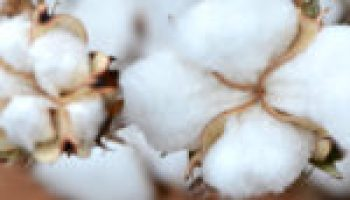 Seed Cotton Provision Workshop slated for July 26 in Leming