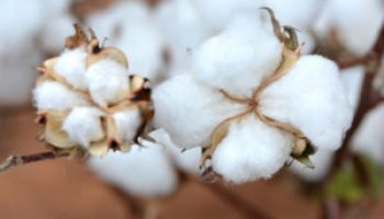 Farm bill effects on cotton producers to be discussed at May 14-16 meetings