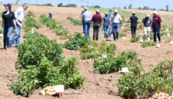 Annual Texas A&M potato breeding field day set July 12 near Springlake