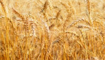 Big Country Wheat Conference slated for Aug. 23 in Abilene