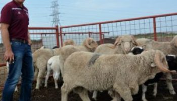 Texas Sheep and Goat Expo to offer internal parasite mitigation strategies