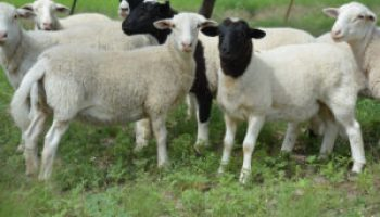 Rolling Plains Sheep and Goat University set Aug. 9 in Seymour