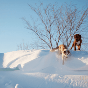 Dogs of Snow
