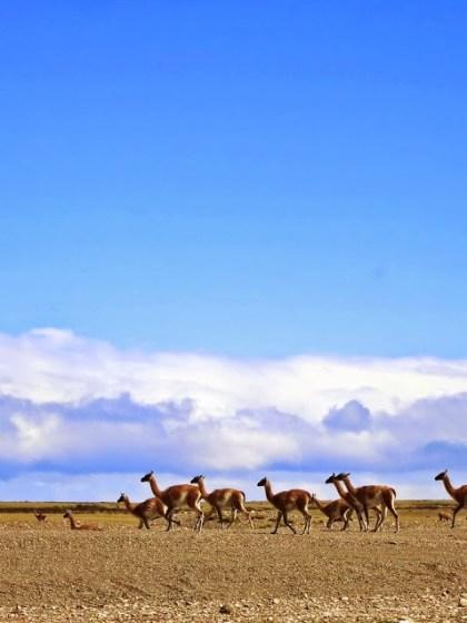 Guanacoherde_Patagonien
