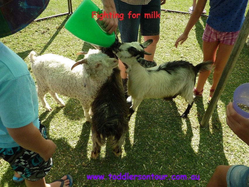 feeding goats milk