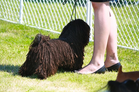 Training a Puli dog