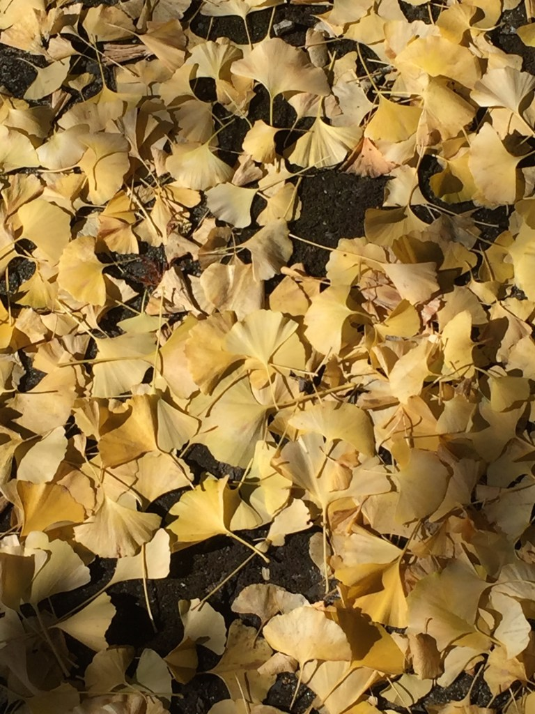 Leaves from a gingko tree