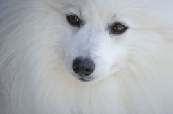 Small Of Fluffy White Dog