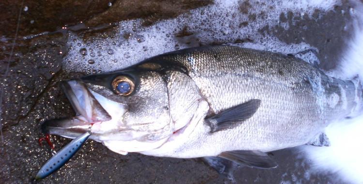 Blackfin Sea Perch / Hira Suzuki