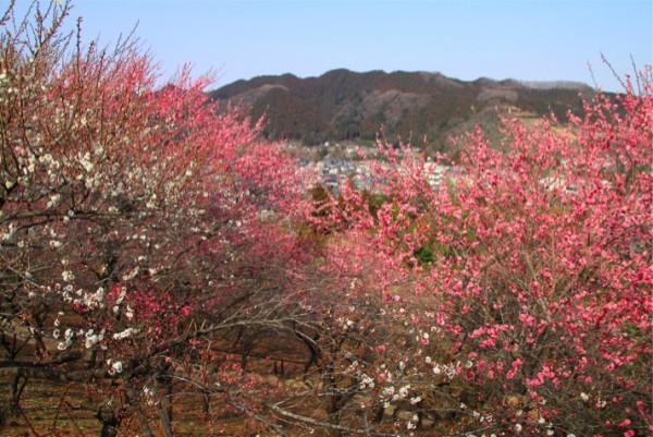 東京・青梅市にある吉野梅郷。関東有数の梅の名所
